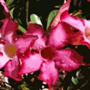 Desert Rose   Adenium Obesum Poster