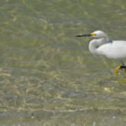 Eastern Great Egret In Florida Poster