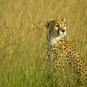 Elegant Cheetah Poster