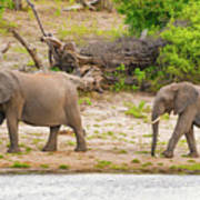 Elephants At The Bank Of Chobe River In Botswana Poster