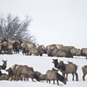 Elk Herd In The Snow Poster