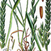 Elymus Repens, Commonly Known As Couch Grass Poster