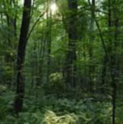 Evening Woods Poster