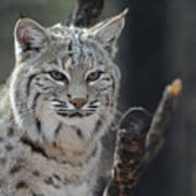 Face Of A Canadian Lynx Poster