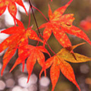 Fall Color Maple Leaves At The Forest In Kochi, Japan Poster