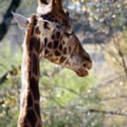 Fall Giraffe I Poster