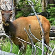 Female Elk Yellowstone Poster