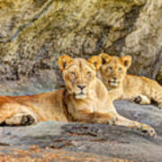 Female Lion And Cub Hdr Poster