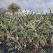 Field Of Banana Trees Poster