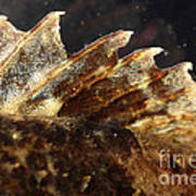 Fin Of Shorthorn Sculpin Poster