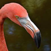 Flamingo Closeup Poster
