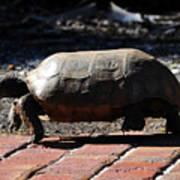 Florida Gopher Tortoise Poster