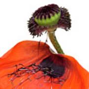 Flower Poppy In Studio Poster