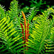 Fern Fractals In Nature Poster