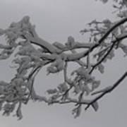 Fresh Snow On Magnolia Tree Poster