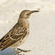 Galapagos Hood Mockingbird Poster