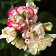 Geranium Flowers Poster