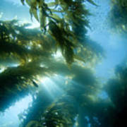 Giant Kelp Forest Poster