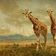Giraffes In The Meadow Poster