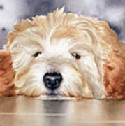Goldendoodle  Poster