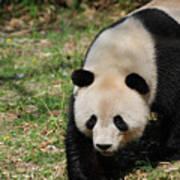 Gorgeous Black And White Giant Panda Bear Walking Poster
