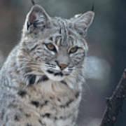 Gorgeous Bobcat's Face Up Close Poster