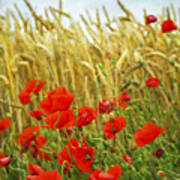 Grain And Poppy Field Poster by Elena Elisseeva