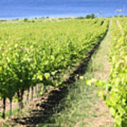 Grapevines In A Vineyard Poster