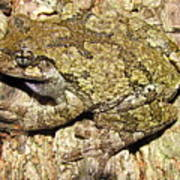 Gray Tree Frog Poster