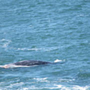 Gray Whale Poster
