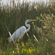 Great Egret At Coba Village Poster