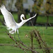 Great Egret Prepared For Landing Poster