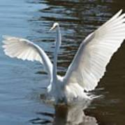 Great Egret Wings Poster