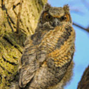 Great Horned Owl Fledgling  Poster