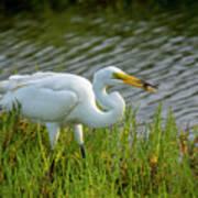 Great White Egret 2 Poster