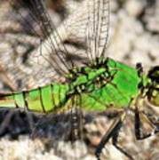Green Dragonfly Closeup Poster