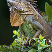 Green Iguana Iguana Iguana, Sarapiqui Poster