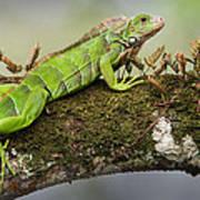 Green Iguana Iguana Iguana, Tarcoles Poster
