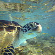 Green Sea Turtle Balicasag Island Poster