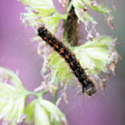 Gypsy Moth Caterpillar Poster
