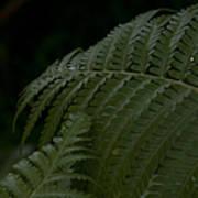 Hapuu Pulu Hawaiian Tree Fern  Poster