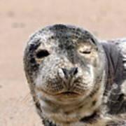 Harbor Seal Poster
