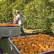 Harvesting Navel Oranges Poster