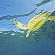 Hawaii, Green Sea Turtle Poster