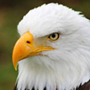 Head Of An American Bald Eagle Poster