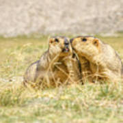 Himalayan Marmots Pair Kissing In Open Grassland Ladakh India Poster