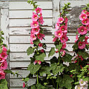 Hollyhocks Poster
