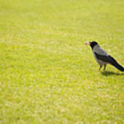Hooded Crow Bird Gathering Hay Poster