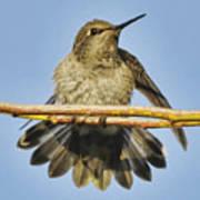 Hummingbird On A Branch Poster