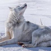 Huskies In Ilulissat, Greenland Poster